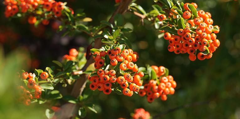 Zářijové radosti, podzim, jeřabina