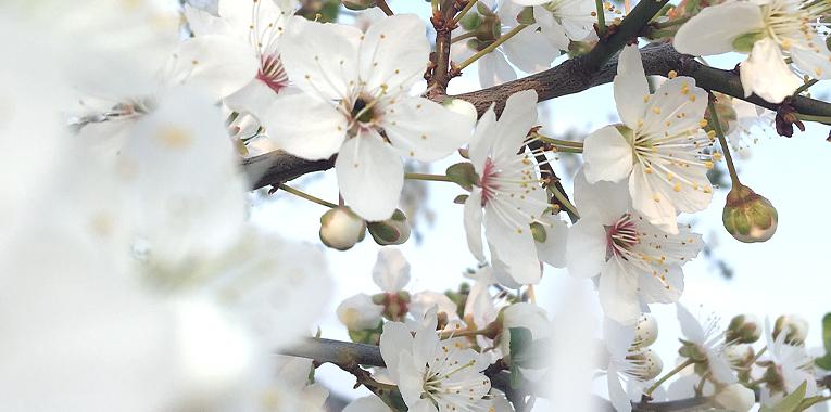 self-care, čas sama pro sebe, třešňové stromy, jaro, nová energie
